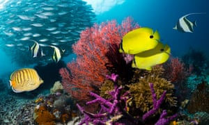 Yellow butterflyfish, Klein's butterflyfish and Moorish idols with a school of bigeye scad on the reef at Raja Ampat, West Papua