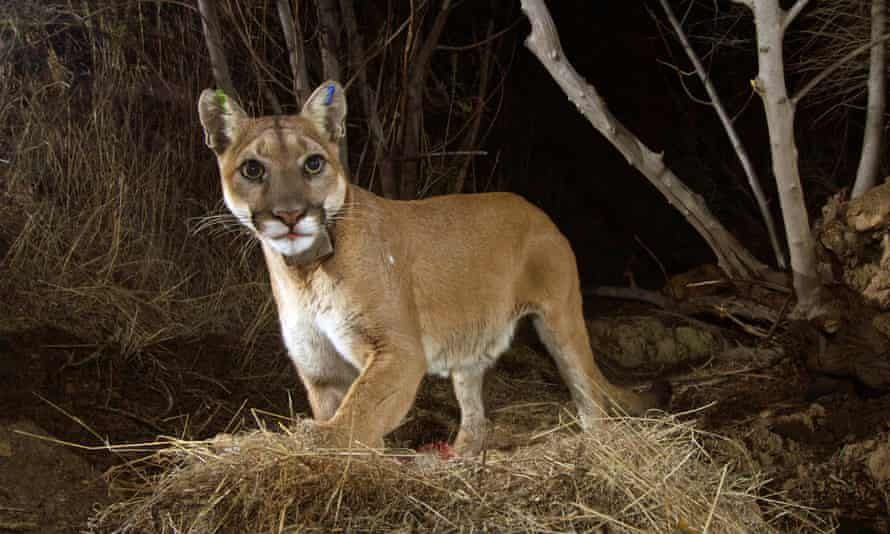 Texas man found dead in woods 'could have been killed by mountain lion'