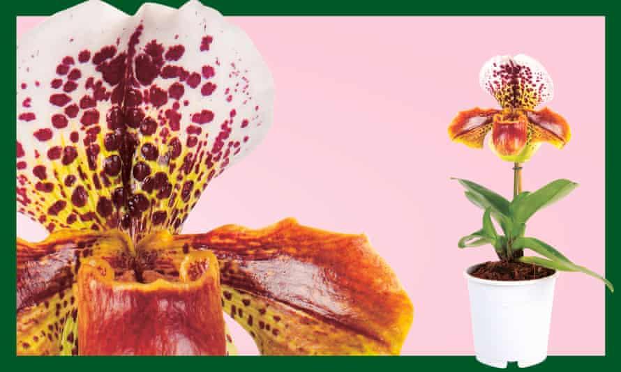 Venus slipper orchid