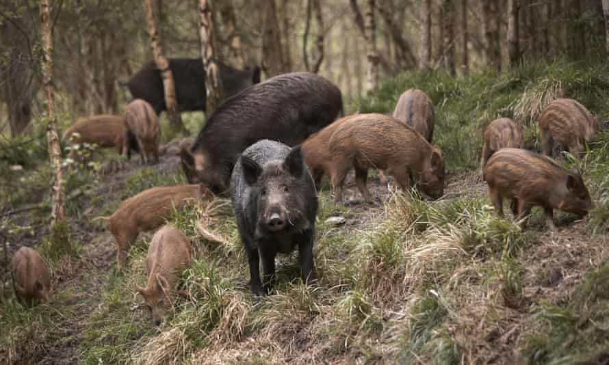 Wild boar sow with piglets, known as a sounder group, in the Forest of Dean, Gloucestershire.