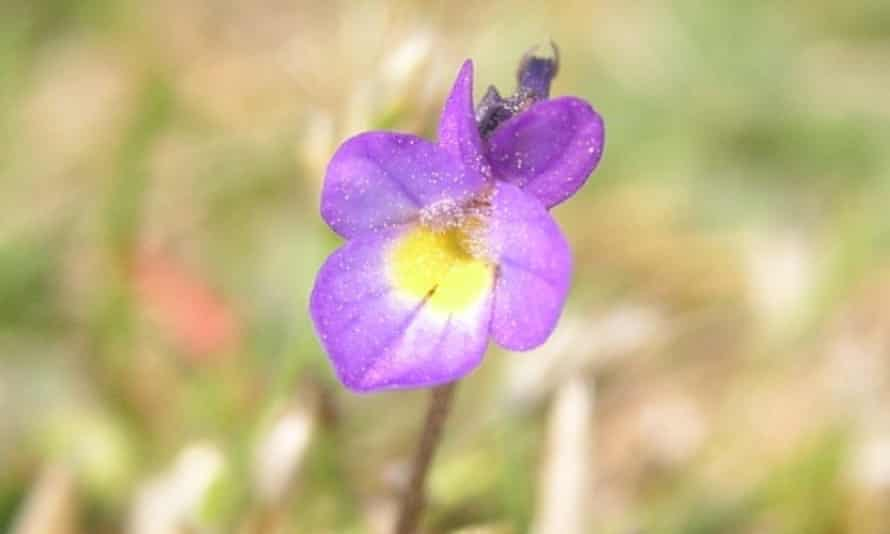 A purple dwarf pansy on the Isles of Scilly