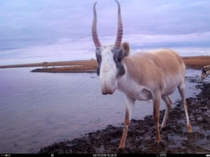 This image of a male saiga antelope with its magnificent horns was captured on a camera trap at a watering hole in the Stepnoi sanctuary in the Astrakhan region of Russia