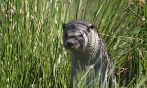 otter, Snape Marshes, Suffolk