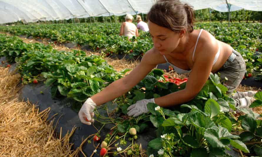 Female worker strawberry fields