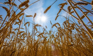 Wheat fields dried up and only grew low through the 2018 summer drought in Ostwestfalen, Germany.