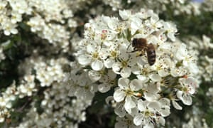 A bee on hawthorn blossom