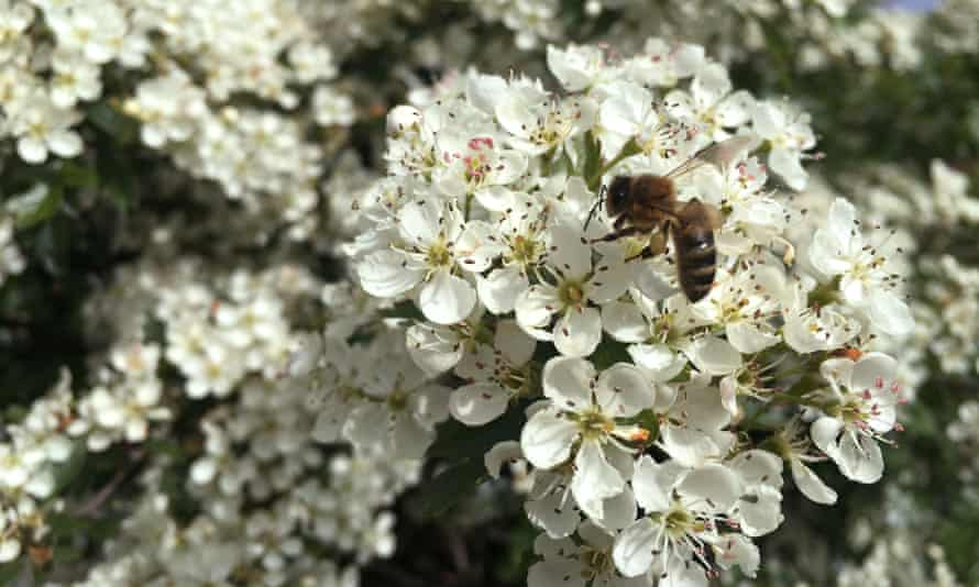 A bee on hawthorn blossom