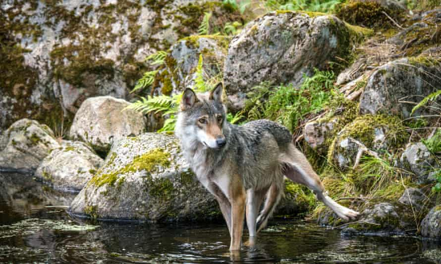 Grey wolf in a river with rocks in the background looking hungry and slim. Location: Denmark