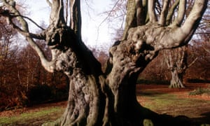 beech tree in Epping Forest.