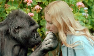 Programme Name: Koko: The Gorilla who Talks to People - TX: 15/06/2016 - Episode: n/a (No. n/a) - Picture Shows: Koko and Penny Koko - (C) Ron Cohn - Photographer: Ron Cohn