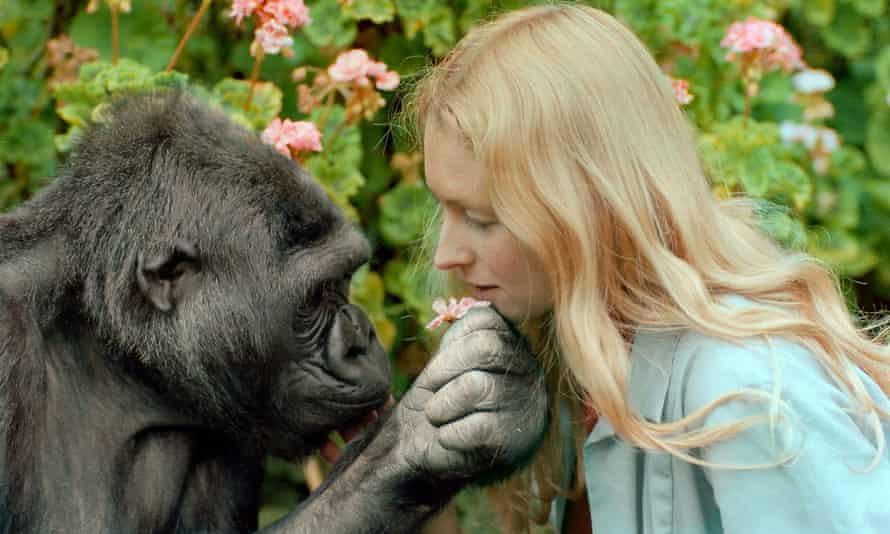 Programme Name: Koko: The Gorilla who Talks to People - TX: 15/06/2016 - Episode: n/a (No. n/a) - Picture Shows: Koko and Penny Koko - (C) Ron Cohn - Photographer: Ron Cohn