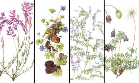Left to right: Polygala major by Junko Iwata; Hepatica Transsylvanica by Kate Nessler; Vicia tenuifolia by Celia Crampton; Small pasqueflower by Fay Barlow.