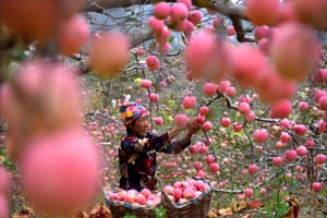 A farmer harvests apples at an orchard in Yiyuan county