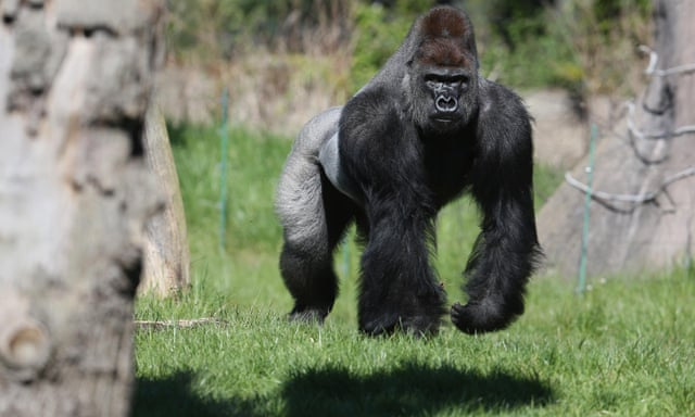 ad380604b73 Gorilla recaptured after escape at London zoo