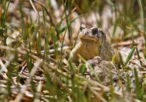 A pair of adult Wyoming toads make their way through a wetland area after being released at the Buford Foundation Ranch in Wyoming, US