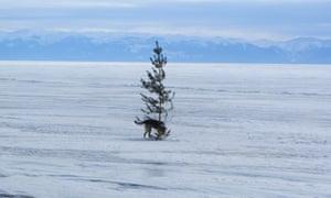 A dog on frozen Lake Baikal.