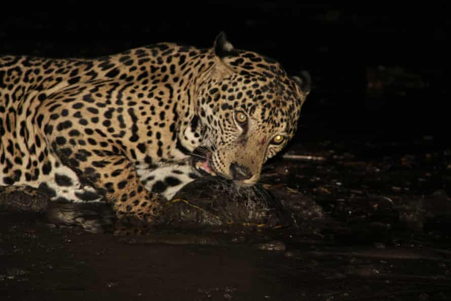 A jaguar gnaws on a recently-killed freshwater turtle on Nancite Beach.