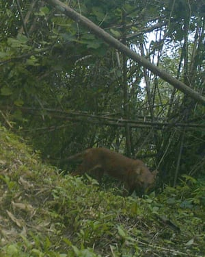 A dhole prowling the forests of the Chittagong Hill Tract. Camera trap photos such as these have proven that dholes are still present in Bangladesh.