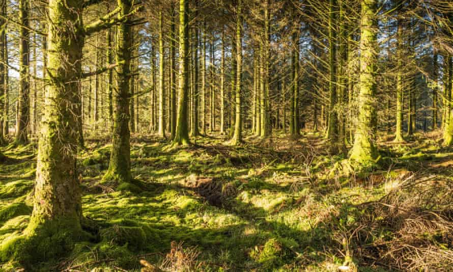 Bellever Forest in Devon, a coniferous plantation managed by the Forestry Commision.