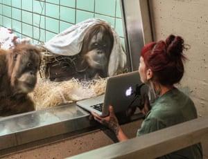 Stuttgart, Germany: Female orangutans