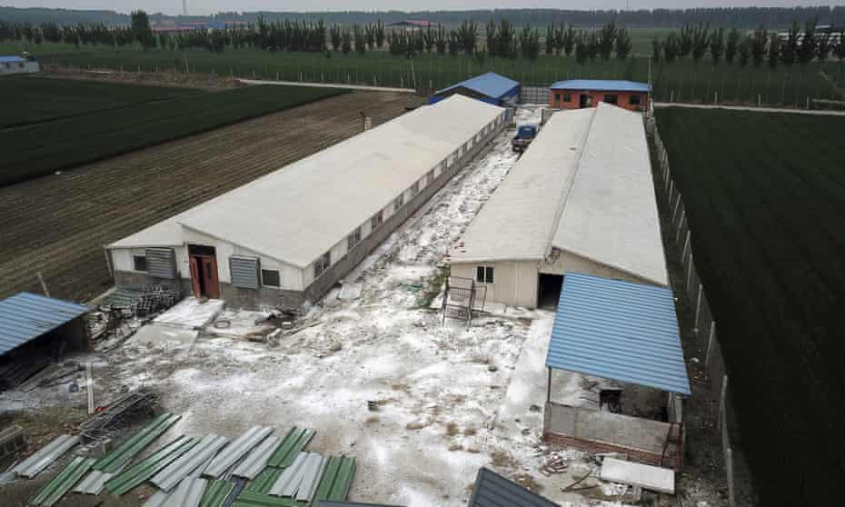 White disinfectant powder is sprinkled on the soil around a pig farm in northern China's Hebei Province.
