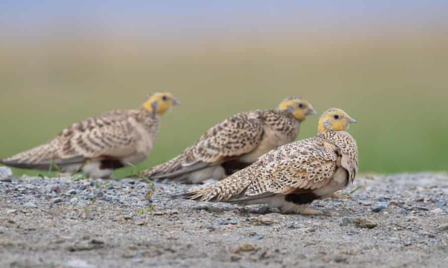 Pallas's sandgrouse (Syrrhaptes paradoxus) at a drinking pool in Kazakhstan. The species has become extinct.