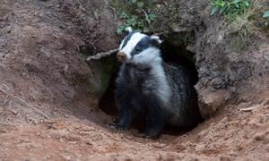 A badger emerging from a sett