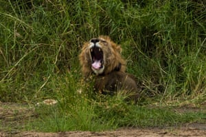 A young male lion yawns as he wakes up in Tanzania's Tarangire National Park.