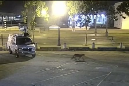 A young mountain lion wanders through the parking lot of KGO-TV/ABC7 television station.