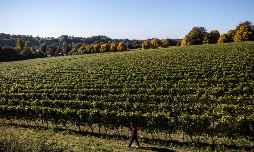 A field of chardonnay grapes at Hambledon Vineyard.