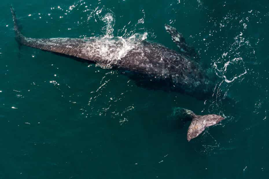 Gray whales in Baja California, where they mate and give birth before heading north.