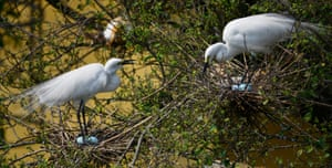 Egrets protect their eggs in Panbazar on the banks of the Brahmaputra river in Guwahati, India