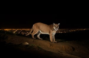 P-22, the 'Brad Pitt of mountain lions', caught on remote camera with Los Angeles in the background.