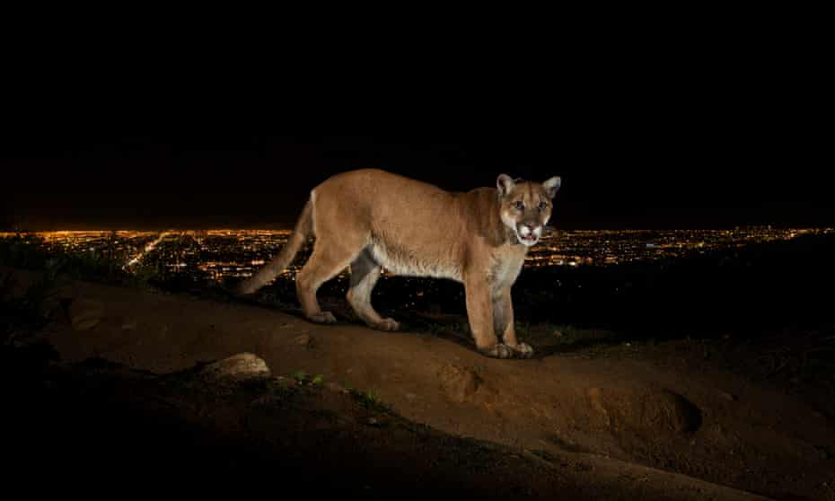 P-22, the 'poster child' for mountain lion preservation caught on remote camera, with Los Angeles in the background.
