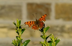 A comma butterfly spotted in a Leeds garden.