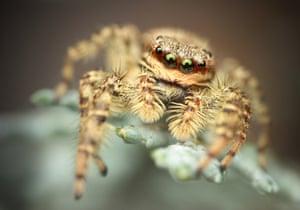 Jumping Spider by Richard Kubica, Myjava, Slovakia