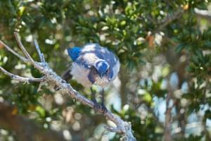 A California scrub jay (Aphelocoma Californica) on Angel Island, California, US