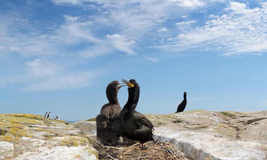 Pelusa europea con polluelos, Islas Farne.
