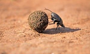 a dung beetle rolling a pellet of excrement