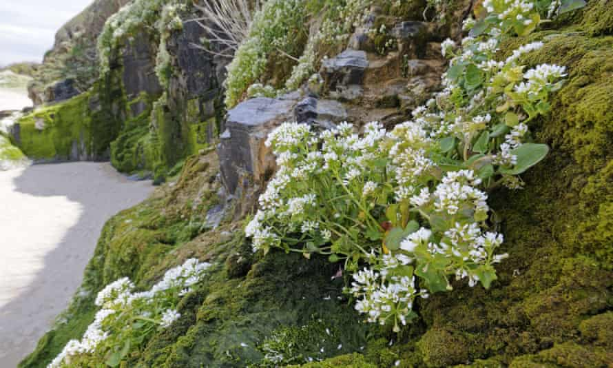 Common scurvy-grass (Cochleria officinalis) growing on cliffs
