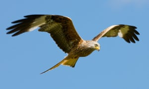 Red kites were reintroduced in England and Scotland from 1986.