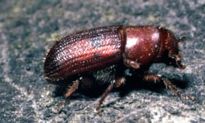 A red turpentine beetle, a type of bark beetle, pictured near San Francisco.