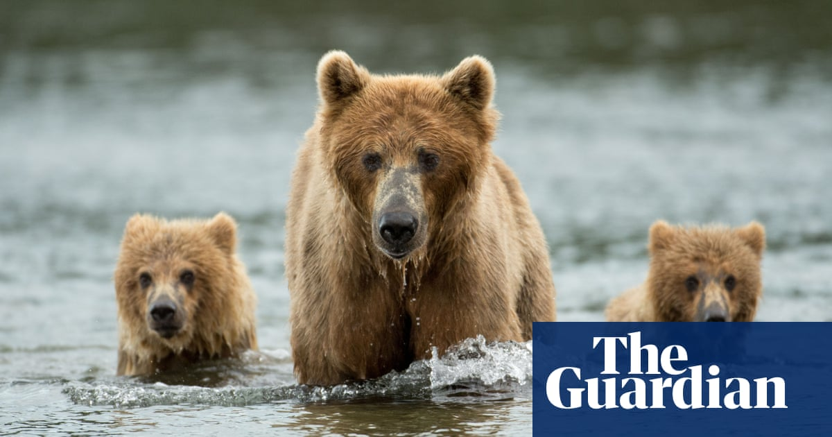New Trump public land rules will let Alaska hunters kill bear cubs in dens