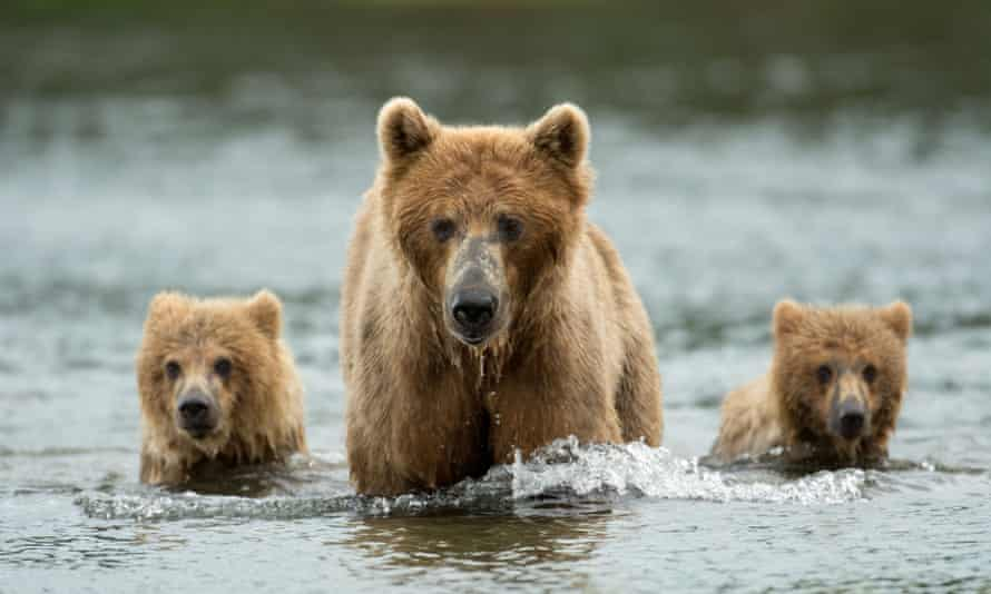 Hunters will be able to lure bears with food, draw them from their dens with artificial light and shoot caribou while they are swimming or from motorboats.