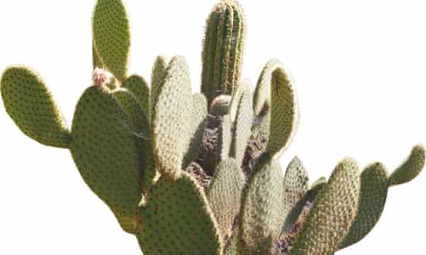 Photograph of prickly pear