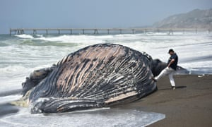 A man touches a beached humpback whale with his foot in Pacifica, California, on 5 May.