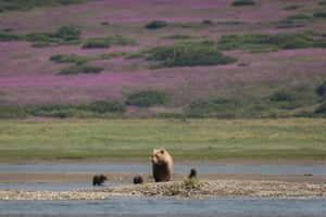 "A brown bear sow (Ursus arctos) locally known as ""Split Decision"", searches for salmon with her three spring cubs in the tidal lagoon in Alaska's McNeil River State Game Sanctuary - home to the largest seasonal congregations of brown bears on earth."