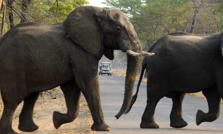 Elephants cross the road in Hwange national park earlier this month.