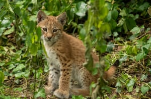One of two lynx kittens recently born at the Wild Place Project, Bristol
