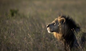 A male lion in Nairobi national park.